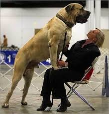 15 gloriously gigantic dogs who think they u0027re tiny