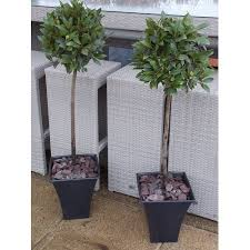 Topiary Planters - of standard topiary bay trees with flared planters