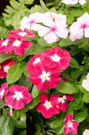Vinca Flowers Beautiful Pink Vinca Flowers Or Madagascar Periwinkle Stock Photo