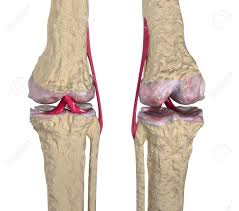 Ankle Anatomy Ligaments Osteoarthritis Knee Joint With Ligaments And Cartilages Stock