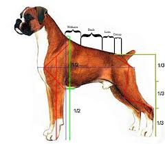 Dog Anatomy Heart Anatomy Of A Boxer