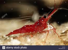 shrimp fresh water water blank european caucasian small tiny