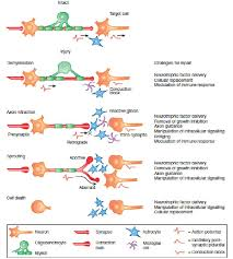 Tissue Renewal Regeneration And Repair Materials For Central Nervous System Tissue Engineering Intechopen