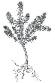 drawn pine tree tree sapling pencil and in color drawn pine tree