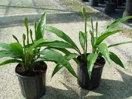 Orchids Care How To Grow And Care For The Phaius Nun Orchid