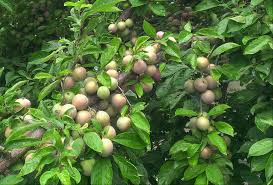 fairhill native plants phillyorchards u2013 philadelphia orchard project