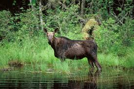 fond du lac tribe hold moose hunt dnr objections