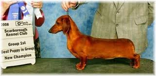 simply edible grandgables wee golden edition dachpedigrees