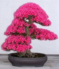 14 best bonsai trees images on bonsai trees