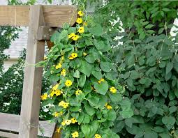 black eyed susan vine garden housecalls