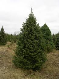 balsam christmas tree christmas tree descriptions