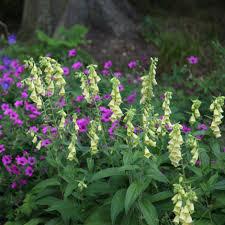 buy shade lovers plant combination shade lovers u0027plant combination