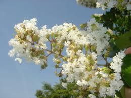 natchez crape myrtle trees for sale fast growing trees