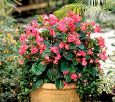 plante vivace soleil bégonia planter et entretenir u2013 ooreka