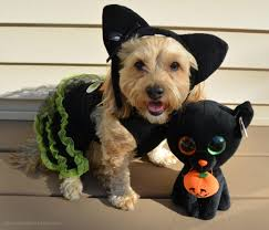 yorkie halloween costumes black cat yourdesignerdog