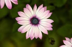 Spring Flower Pictures Light Pink Spring Flower Http Www Borongaja Com 656544 Light