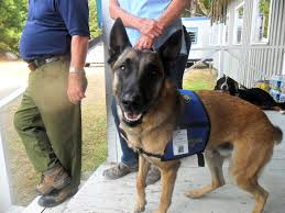 belgian shepherd vancouver therapy dogs bring relief for whiskey complex firefighters the