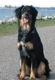 australian shepherd and golden retriever mix bernese mountain dog info temperament puppies training pictures