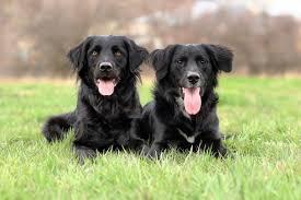 belgian shepherd ontario breeders meet chance u0026 bramble not twins but best buddies american