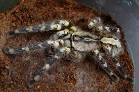 indian ornamental tarantula sub adults for sale