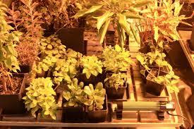 chauffage pour chambre de culture le froid dans la culture du cannabis du growshop alchimia