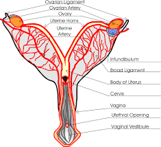 Anatomy Of The Female Reproductive System Pictures Dog Reproduction Anatomy Safari Veterinary In League City Tx