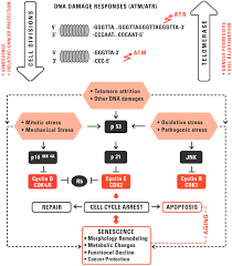 genes free full text therapeutic targeting of telomerase html