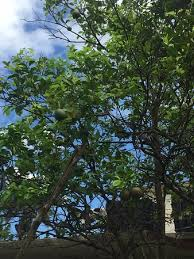 gorgeous trees picture of finca tungasuk caimito tripadvisor