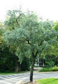 known to us as the russian olive tree this is what is my