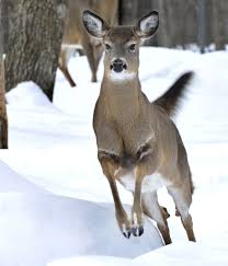 hunting deer herd was prepared for a rough winter portland