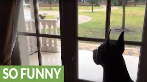 through the glass dog doors fearless squirrel mocks great dane through glass door youtube