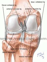 Back Knee Anatomy Vesalius Clinical Folios Knee Anatomy Posterior View