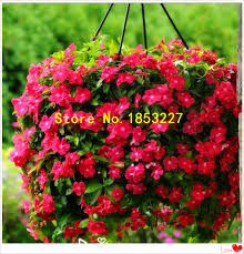 ggg ggg 50pcs lot rose red color madagascar periwinkle seeds