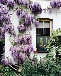 maison avec des glycines glycines pinterest flowers plants