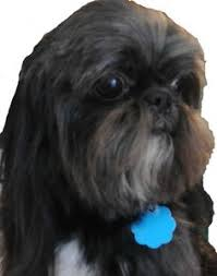 list of shih haircut looking for a cool name for your girl shih tzu here is a list of