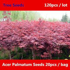 ornamental plant acer palmatum seeds 120pcs beautifying japanese
