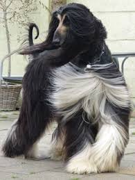 afghan hound weight this dog has better hair than us puppy love 2 pinterest