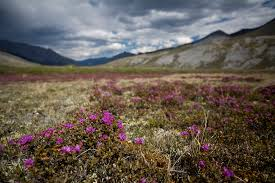 tundra native plants what u0027s so special about the arctic refuge the answer is in these