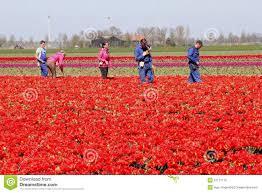 Netherlands Tulip Fields Male And Female Workers In The Red Tulip Fields Noordoostpolder