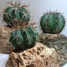 Kitchen Cactus Grow Succulents And Bromeliads On Hypertufa Craft Organic