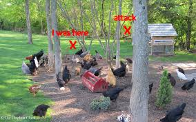 the chicken chickens predators u0026 the myth of supervised