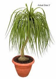 ponytail palm bonsai keeping it small