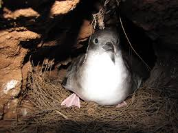 recon native plants kauai military base urged to dim lights to protect native seabirds