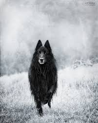 belgian shepherd wolf mix best 25 black belgian malinois ideas on pinterest belgian