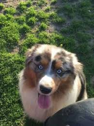 australian shepherd facts facts about australian shepherds australian shepherd aussies