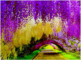 The Spectacular Views Of The Wisteria Flowers At Kawachi Fuji