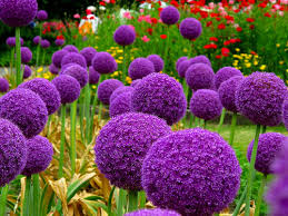 allium flowers ggg 100 allium globemaster allium giganteum flower seeds