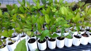 cone tainer apple trees seedlings