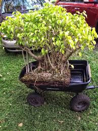 Challenge Plant Pot The Challenge Get This Ficus Green By December 31st Adam S