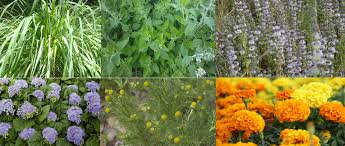 plants that keep mosquitoes away 17 easy to grow plants that repel mosquitoes u2013 no need to buy any